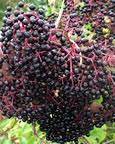 Picked-Elderberries-Hand